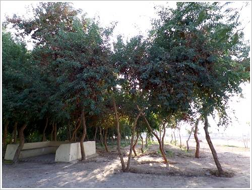 Luxor Man-Made Forest - Dalbergia sissoo